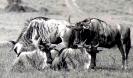 East African Wildlife 2_7