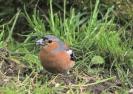 Garden Birds_1